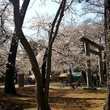 桜が満開の公園でした