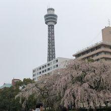 マリンタワーとしだれ桜