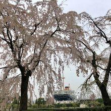 氷川丸としだれ桜