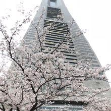 桜満開の上にそびえています