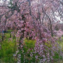 桜が見ごろですよ!