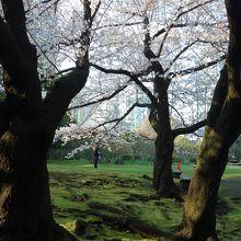 芝生の広場にも桜