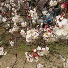 梅の開花に合わせて