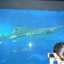 ジンベイザメが悠々と泳いでいます。