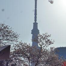 桜満開の隅田公園からの東京スカイツリー