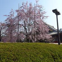 本堂と五重塔の間の枝垂桜