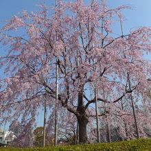 浅草寺枝垂桜 満開でとても綺麗でした