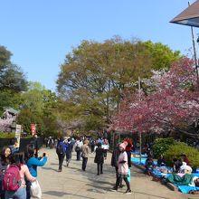 朝早くから桜花見のお客がシートに坐っていました