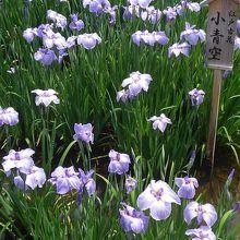 菖蒲の公園