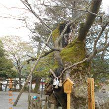 境内には弥栄神社の大ケヤキがあります