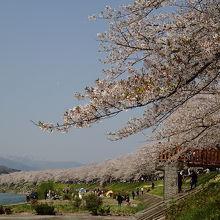 桧木内川堤のソメイヨシノは、2kmも続く圧巻の桜並木! 横町橋からの眺めが、お薦め。