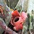 ラフレシアの開花を確認してから出掛けます。