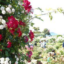 2600本あまりのバラが咲く