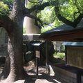 写真:大阪城 蓮如上人袈裟掛けの松