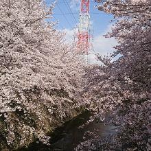 恩田川 さくら道 クチコミガイド...