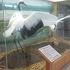 丹頂鶴のはく製が飾られていました。