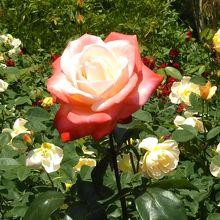 6月上旬、バラが見頃でした。