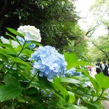 上野公園のアジサイ