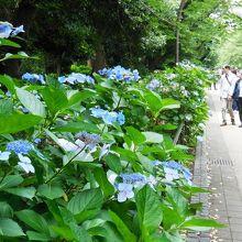 7月上旬までが開花時期です。