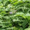 野花を求め花の100名山 仙丈ヶ岳に登る
