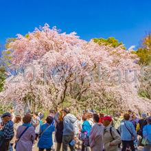 沢山の人がしだれ桜のまわりを囲んでいました。