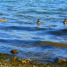 かわいい水鳥を見ることができました