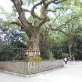 写真:熱田神宮の大楠