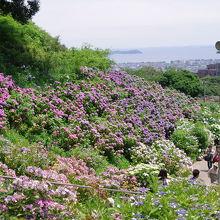 たくさんの紫陽花越しの三河湾が眺められます