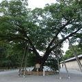 写真:清水谷家の椋 (京都御苑内)
