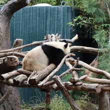 パンダがいたー