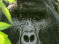 マウンテンゴリラに逢いにトレッキング。Bwindi(ブウィンディ)/Uganda(ウガンダ/アフリカ