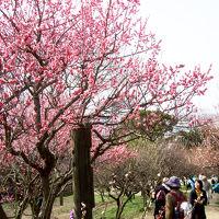 o●お花見●o 梅の名所・傾斜を埋め尽くす「枚岡神社梅林」〜「石切神社」でお百度参り