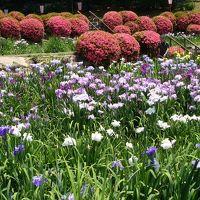 岡崎市東公園の花菖蒲祭り