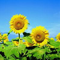 夏・花旅�いま会いにゆきますのひまわり畑にまた会いに来ました