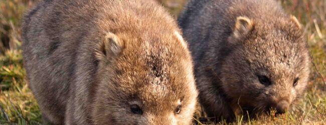 タスマニアで野生のウォンバットに会おう(...