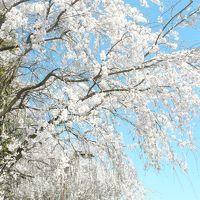 桜が見頃の深北緑地公園の本当の役目