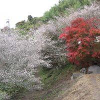 近くに行きたい♪ 「紅葉と小原の四季桜のW競演(*^^)v ついでに名鉄三河線の廃線跡も・・」