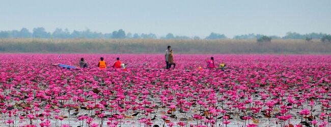 湖面一面に咲く、蓮の花を見物に行ってき...