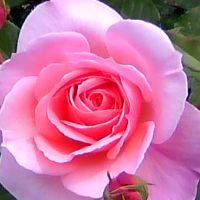 バラも咲いたよ!大阪の歴史跡を尋ねてぶらり旅・中之島のバラ園にも行ったよ