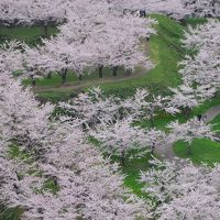 【300冊記念】春の妖精舞う北海道へ【4】〜五稜郭の桜〜