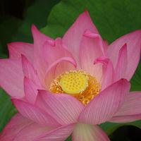 新潟散歩 総鎮守 白山神社 白山公園 蓮花の美しさ
