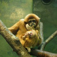 赤ちゃん公開☆ シロテナガザルはシロテテナガザルだった。  【横浜市 金沢動物園】