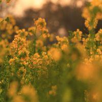 愛知 渥美半島の菜の花と豊川稲荷