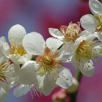 京都の満開の梅を探して〜梅宮大社・大徳寺・上賀茂神社へ〜