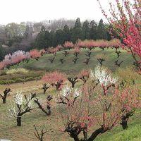満開の元石川 花桃の丘(2013年3月24日)