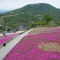 近くに行きたい♪ 「う〜ん かなりビミョ〜( 一一) 愛知県最高峰・茶臼山の芝桜」