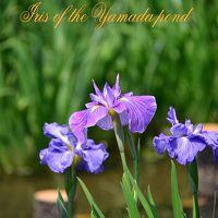 山田池公園と花菖蒲