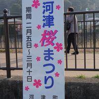 3年ぶりの河津 今年も咲いているぞ。ついでに渋滞、海鮮、温泉で伊豆「三昧」(2014年河津 本編)