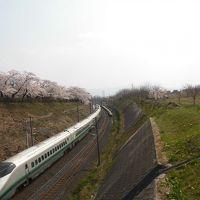 斎藤茂吉記念館の桜(通称・御幸公園)