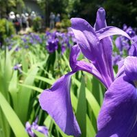 咲き誇る花々!史跡八橋かきつばたまつり